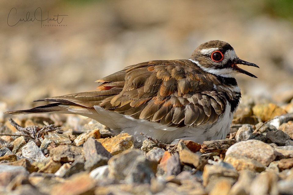 Killdeer, North Okanagan, BC