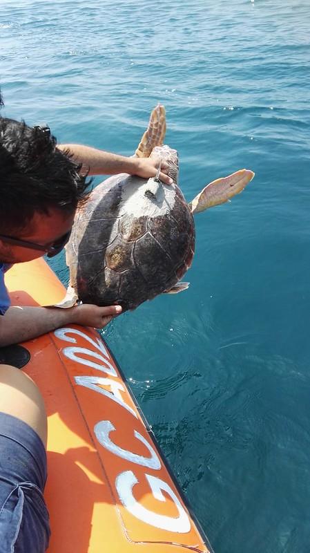 La tartaruga Caretta caretta Eleonora