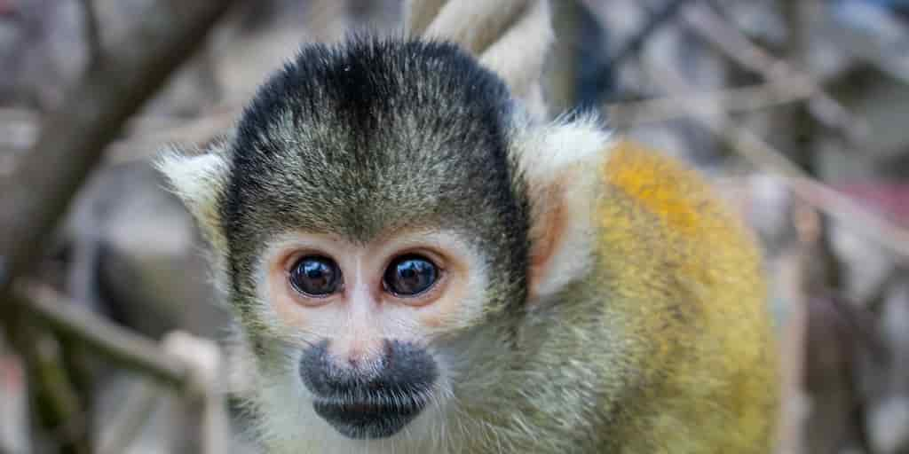 autisme-modèle-primate-étude