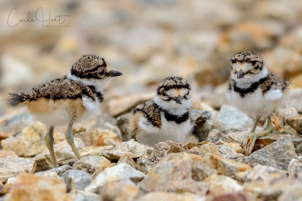 Hours-old killdeer chicks :heart:️ Vernon, BC