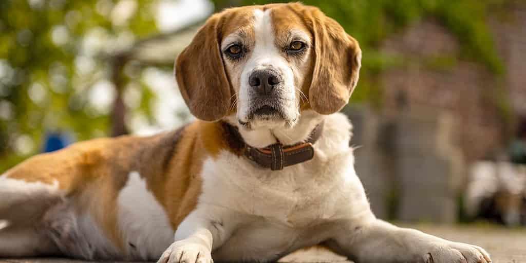 chien-détection-cancer-précision