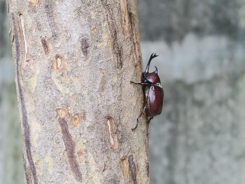 六月的獨角仙交配、打架與黑尾虎頭蜂