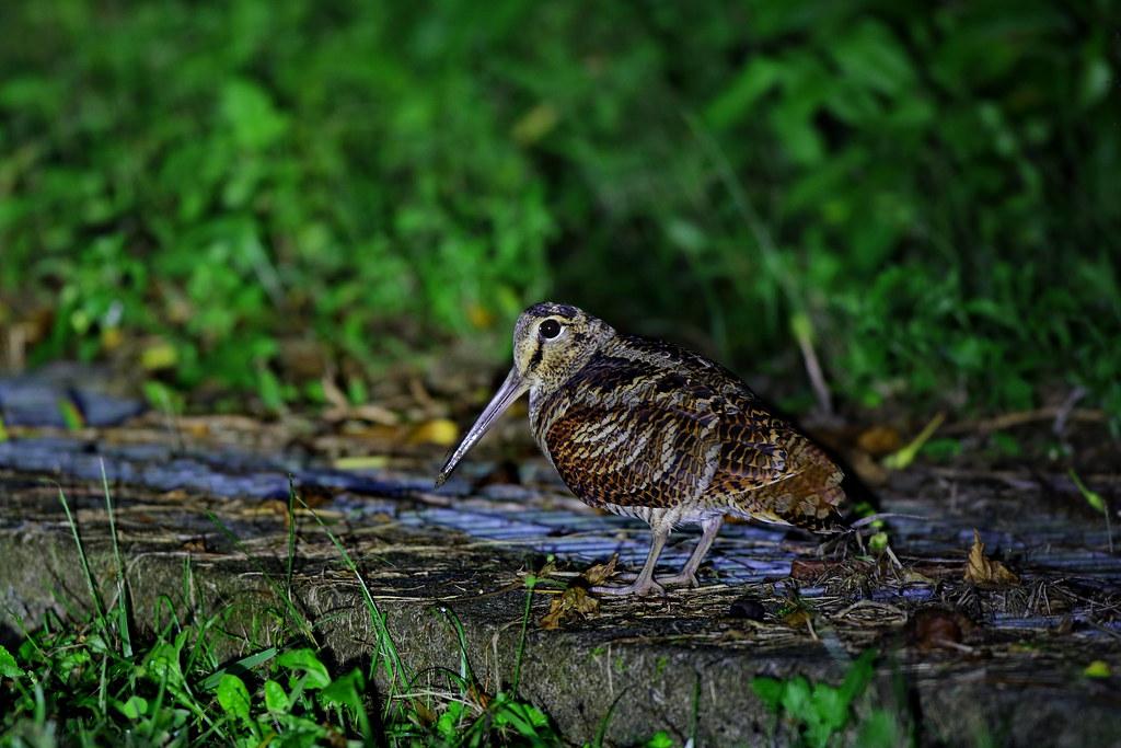 山鷸 Eurasian woodcock (丘鷸) | 英名: Eurasian woodcock 學名: Scolop… | Flickr