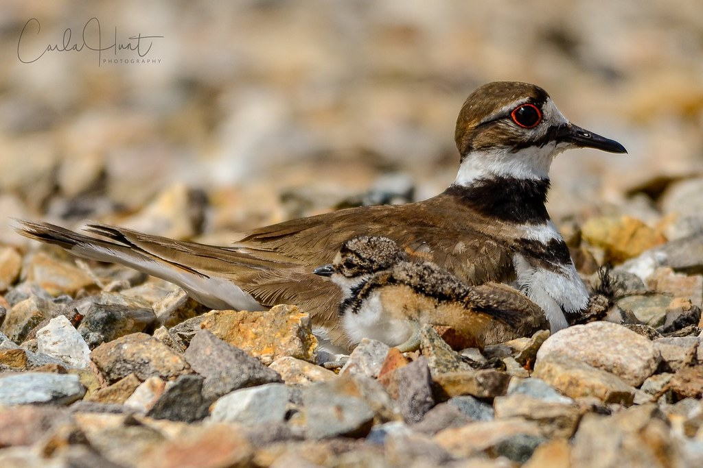 Killdeer and chick, Vernon, BC