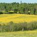 Fields of buttercups