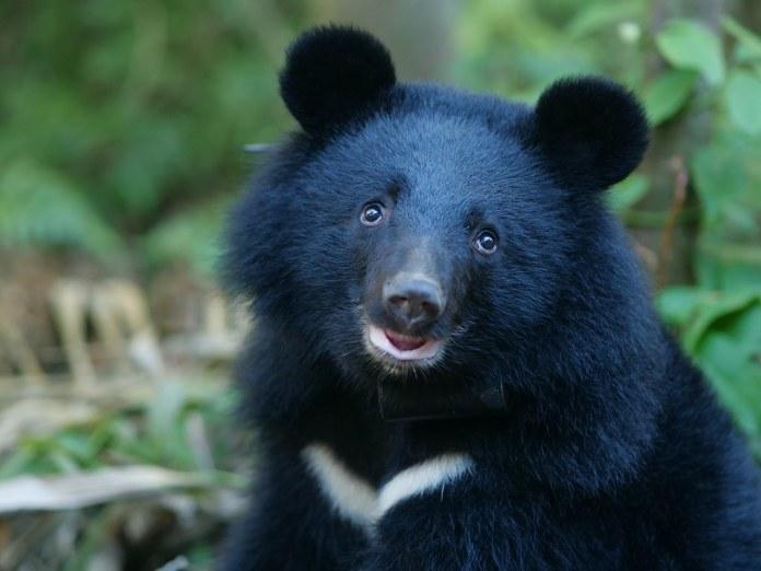 南安小熊Buni。資料照,圖片來源:台灣黑熊保育協會。