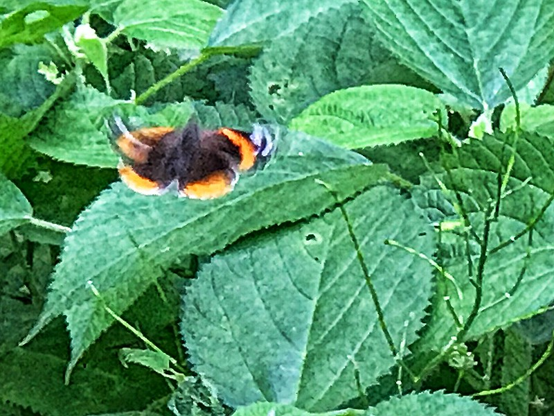 Flitty red admiral