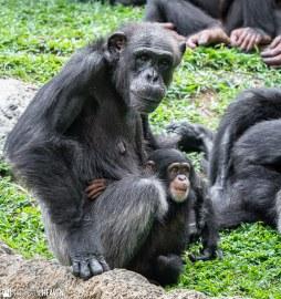 Singapore Zoo - 0690