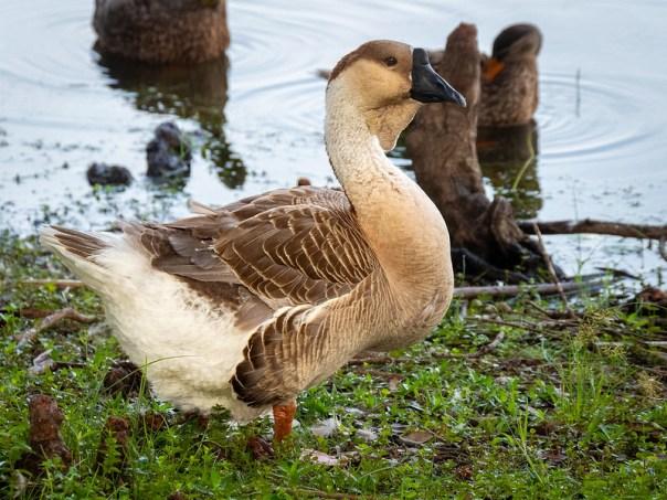 Swan-Goose (?)