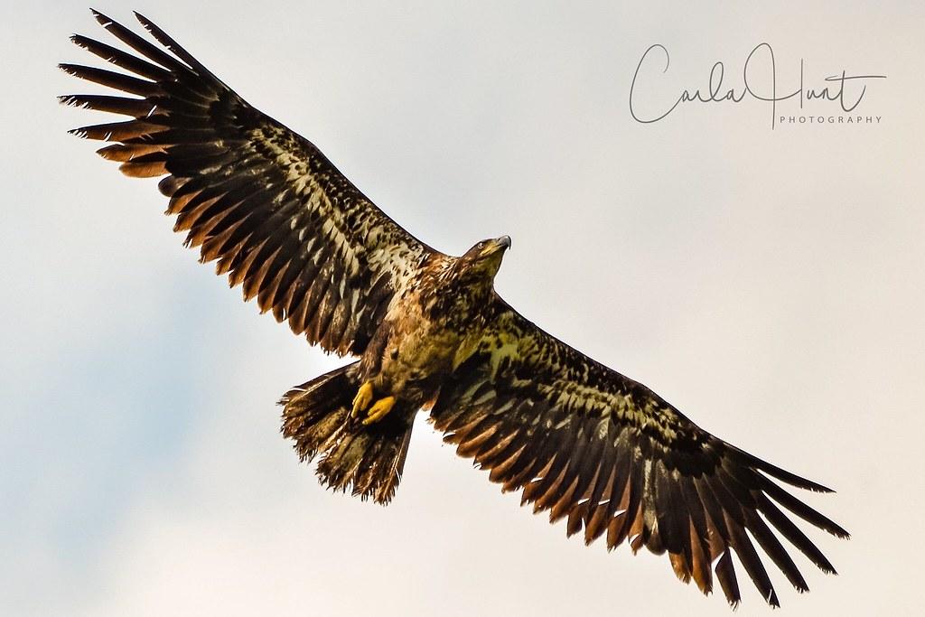 Bald eagle, Vernon, BC