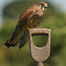 Kestrel (& fly)