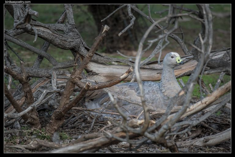 Cape Barren Goose: The Lady in her Parlour