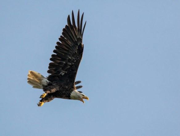 Eagle in flight....
