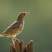Song Thrush ( Turdus philomelus