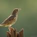 Song Thrush ( Turdus philomelus