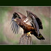 An artistic impression of a young bald eagle originally photographed by Randy G Lubischer