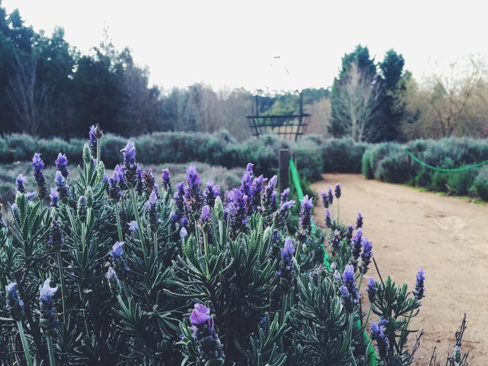 29 June 2016: Ashcombe Maze & Lavender Gardens | Shoreham, Victoria