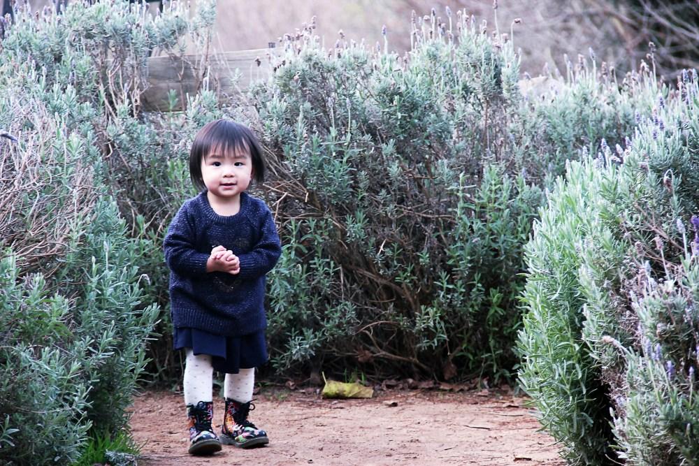 29 June 2016: Ashcombe Maze & Lavender Gardens   Shoreham, Victoria