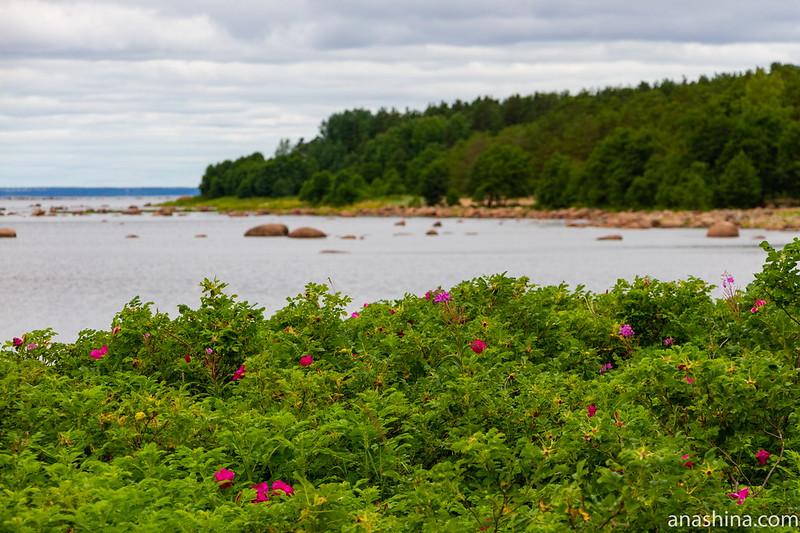 Финский залив, Карельский перешеек, шиповник