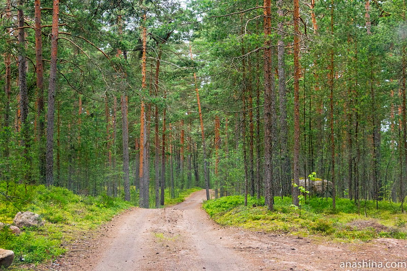 Лес, Карельский перешеек