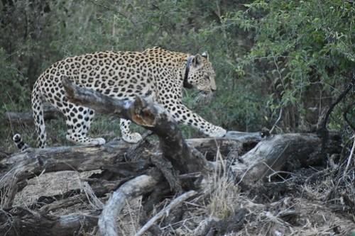 Leopard encounters