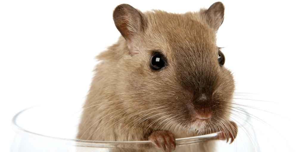 inversement-du-vieillissement-des-cellules-souches-cerveau-rats