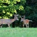 White tailed deer bucks