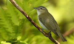 Viréo aux yeux rouges \ Red-eyed Vireo