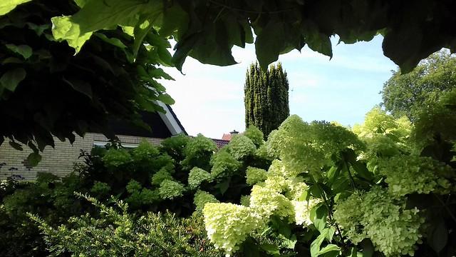 Hortensia's landelijk tuin zwart wit