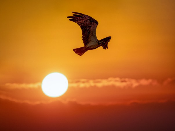 Sunrise Osprey