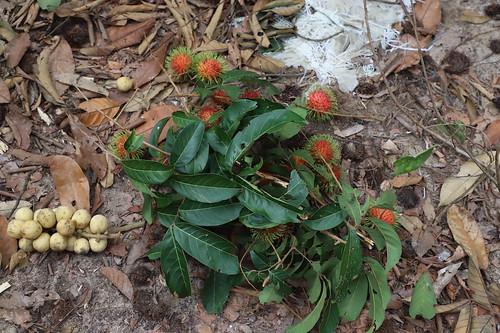 【2019再訪馬來西亞雙溪大年、檳城】果園採果:榴槤、山竹、紅毛丹、龍貢果
