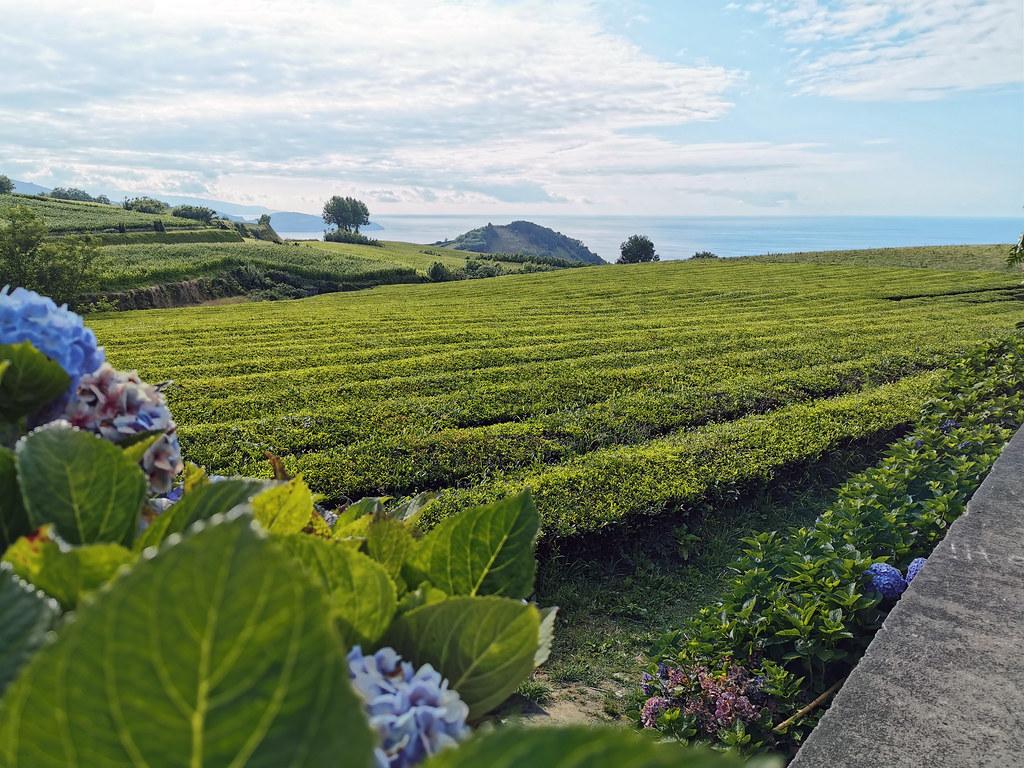 cultivo y plantaciones de Te negro y verde Isla de San Miguel Azores Portugal 02