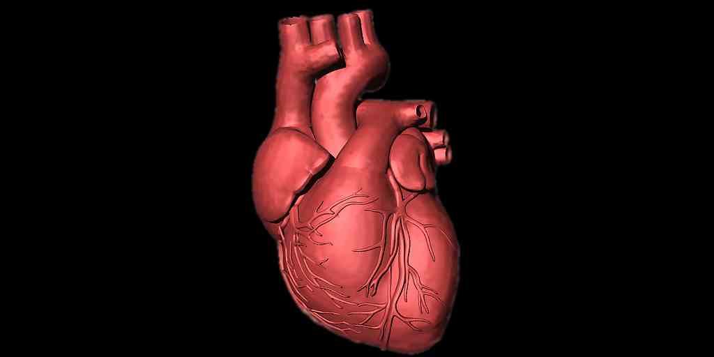 activation-gène-régénère-les-cellules-cardiaques