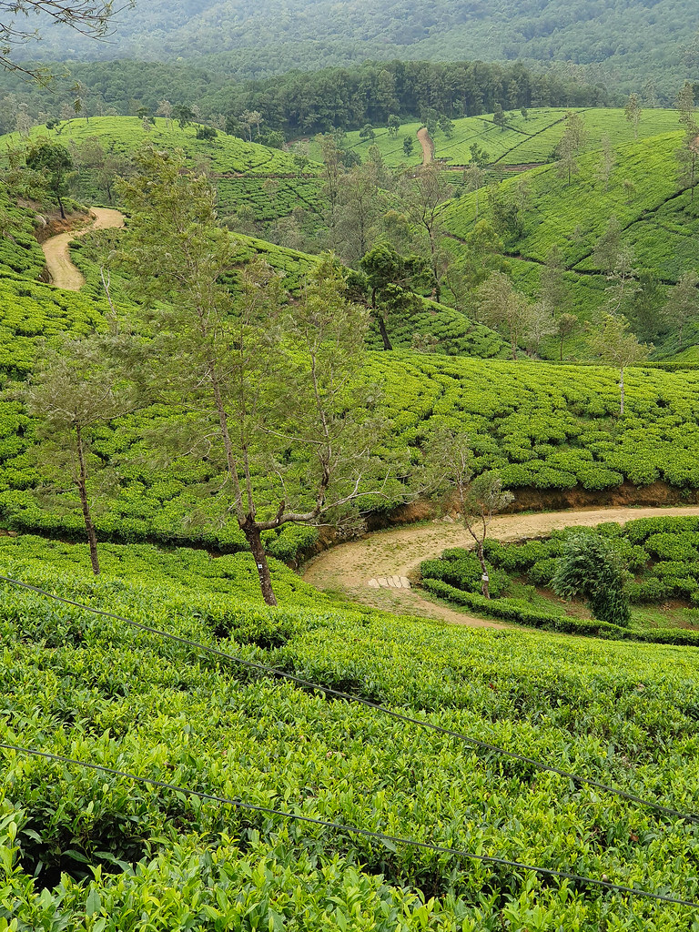 A tea estate: there are tea plants spreading over hills that go from the foreground of the photo all the way to the background. There is a dirt road crossing through and a few trees here and there.