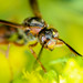 Wasps Are Pollinators, Too