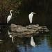 Great Egrets 3517