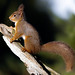 RED SQUIRREL ...Scotland...Last Image for a few days...Click on Image for more detail.
