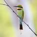 Rainbow Bee Eater (Merops ornatus)