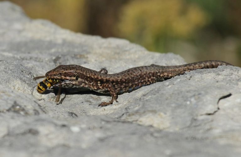 Wall Lizard eating a wasp. (One of two images)