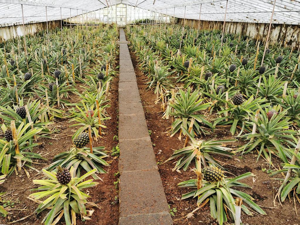 Plantacion de piñas ananas Arruda Ponta Delgada Isla San Miguel Azores Portugal 03