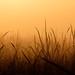 Stray Reeds