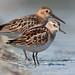 "Little Stint & Dunlin - ""Little and Large"""