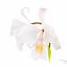 Cattleya schroederae `Rayuela x Cattleya schroederae semi-alba`