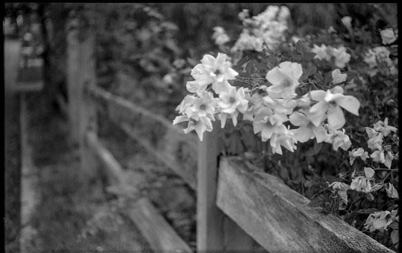 autumn flowers, split rail fence, Blue Ridge Avenue, Asheville, NC, Voigtlander Vitomatic II, Eastman Double X 200, HC-110 developer, 9.28.19