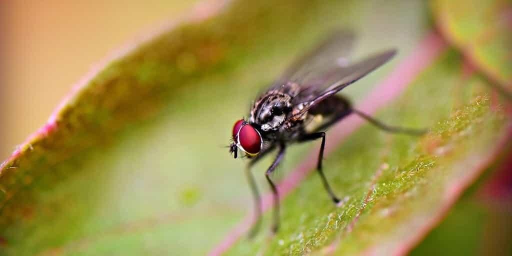 mouche-modification-avec-CRISPR-manger-poison