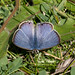 Long-tailed Blue-19