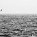 Manx Shearwater - Atlantiksturmtaucher