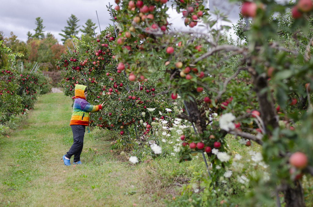 apple picking - 10