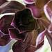 Black Aeonium