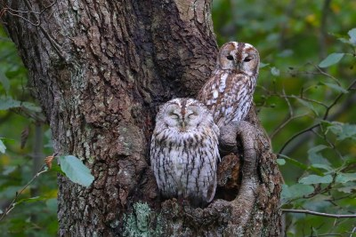 Owly daywatch. Tawny Owls (Natugler), Gribskov